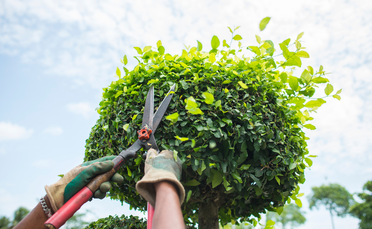 pruning hedge - cut - Getty.jpg