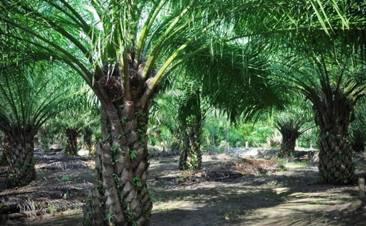 Palms at a palm oil plantation