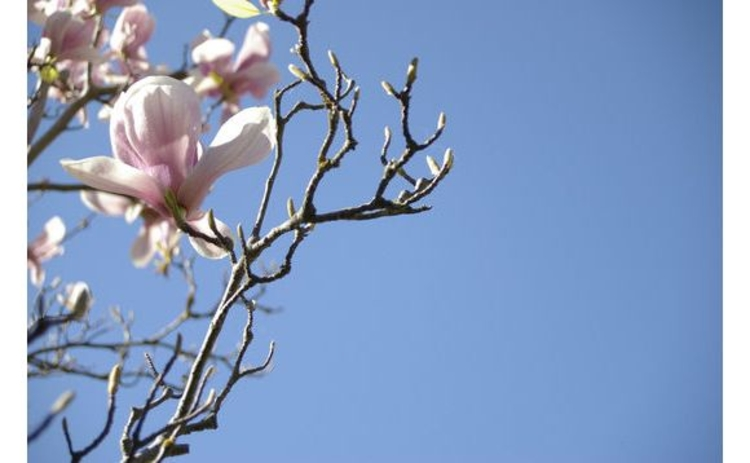 magnolia-branch-and-flower-pink-against-blue-sky-closeup-copy-space