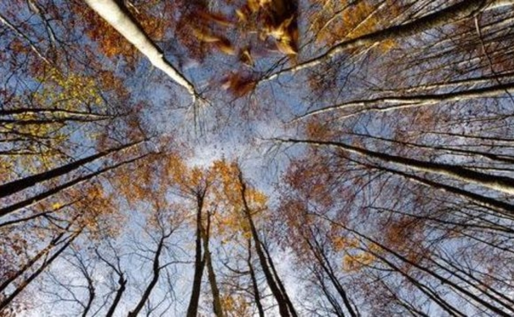 beech-forest-circle-of-tall-straight-trees-autumn