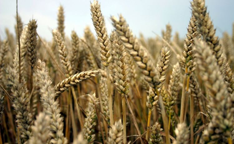 field-of-ripe-wheat-ears-closeup