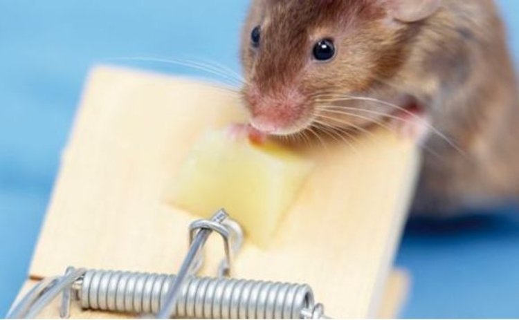 Mouse thinking of stealing some cheese from a mousetrap