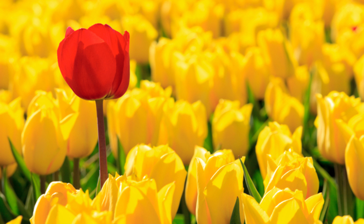 tulips-red-yellow